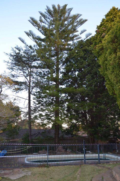 Removing pine tree